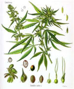 Picture of Cannabis plant