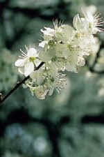 Picture of flower Cherry Plum
