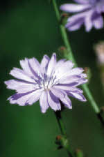 Picture of Chicory flower