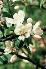 Picture of flower Crab Apple