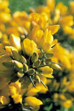 Picture of Gorse flowers