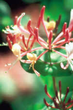 Picture of Honeysuckle