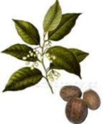 Picture of Nutmeg plant