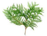 Picture of Thuja plant